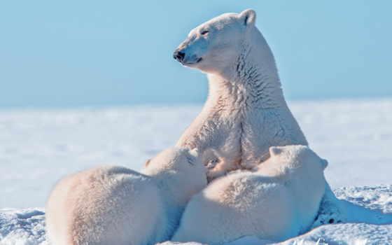 tapety, niedźwiedzie, polarne