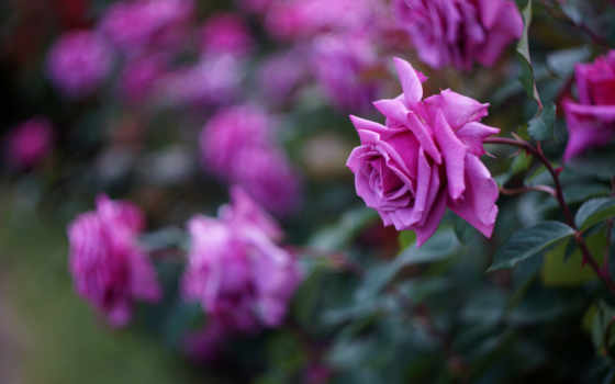 макро, розы, разных, cvety, bush, роз, розовых, лепестки, малиновые, размытость,