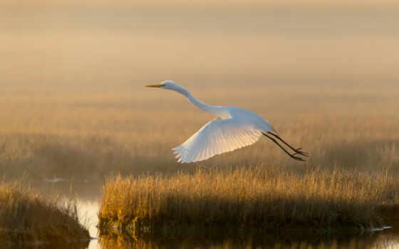 птица, природа, white, озеро, egret, трава, цапля, swamp