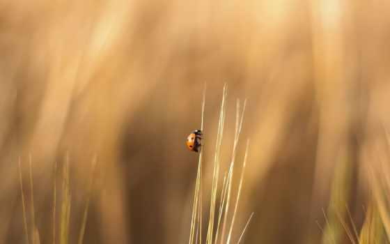 божья, коровка, трава, wallpaper, картинка, травинке, картинку, ползет, ladybug, wallpapers, насекомое, поле,