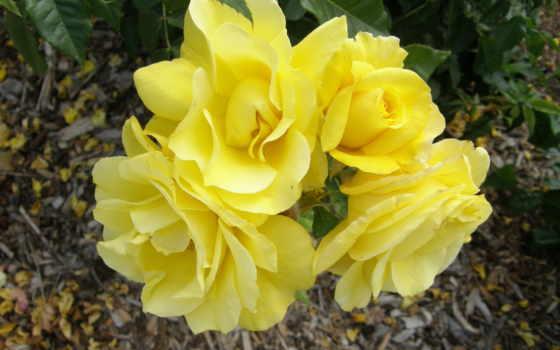 цветы, yellow, розы