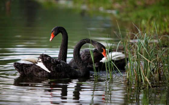 природа, лебеди, озеро
