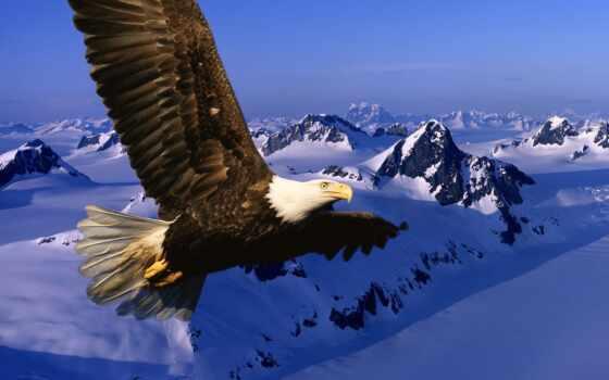 орлан, белоголовый, со, горами, птицы, просмотров, горы,