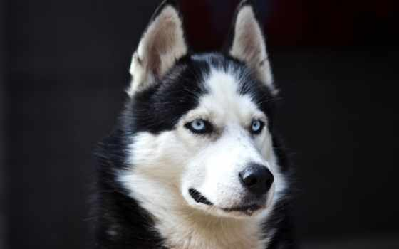 хаски, собаки, собака, nice, красивые, black, породы, danger, white, blue,