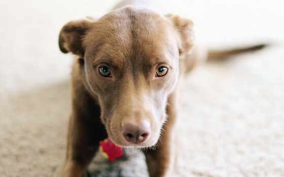 pitbull, собака, щенок, pitbulit, boxer, stoloboi