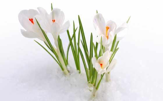 весна, cvety, ранняя, подснежники, снег, весенние, природа, one, бутоны, первоцвет,