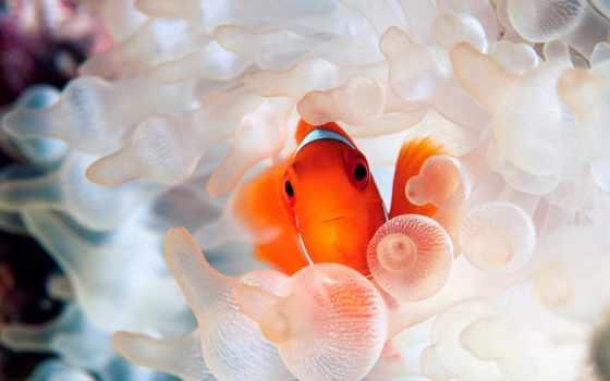 pez, payaso, los, fondos, que, немо, para, peces, huevos,