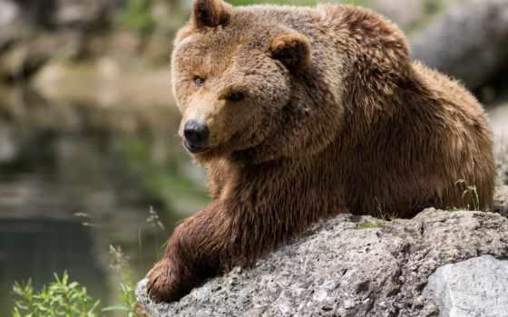 медведь, браун, ок