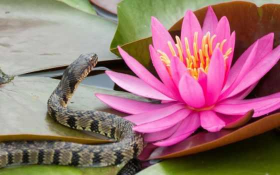 цветы, lily, водяная, листва, кувшинка, cvety, розовый, water,