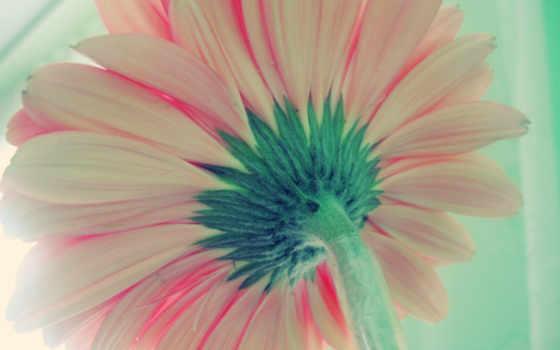 gerbera, цветы