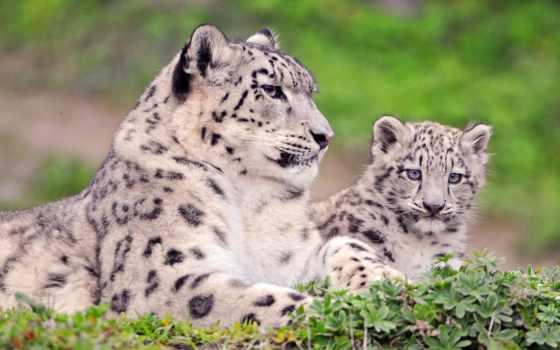 снег, леопард, uncia,