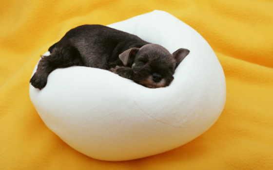 щенок, спит, сладко, подушке, small, разрешениях, fone, разных, собаки,