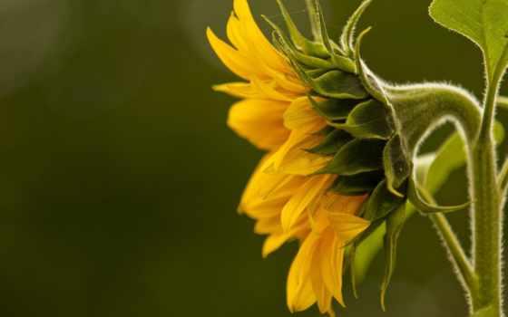 подсолнухи, подсолнух, красивые, yellow, макро, деревенская,