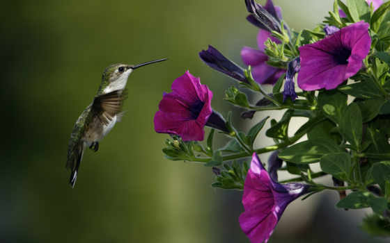 hummingbirds, flowers, колибри, birds, purple,