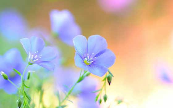 cvety, голубые, лен, полевые, лепестки, summer, ленок,