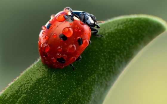 water, leaf, drops, коровка, макро, photography, зелёный, ladybug, листья, drop,