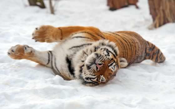 тигры, тигр, снегу, amur, снег, картины, коллекция, широкоформатные, купить, природа,
