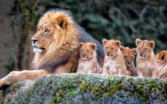 , lion, львы, красивые, львята,