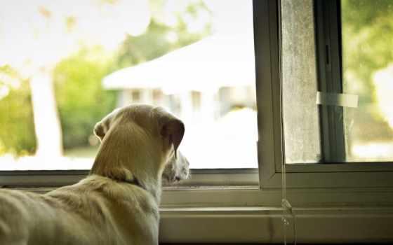 собака, окно, house, щенок, desktop, порода,