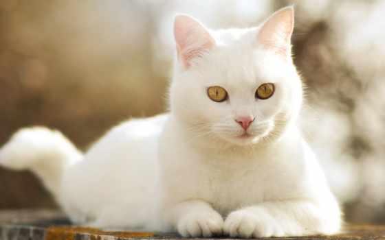 white, кот, белая, морда, кошка, глаз, усы, шерсть
