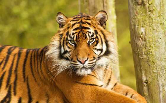 тигр, недовольный