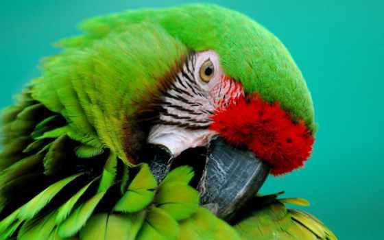 попугаи, птицы, часть