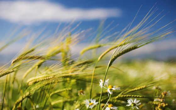 лето, трава, колоски