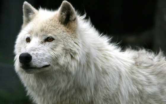 волки, волк, волков Фон № 73106 разрешение 1920x1080