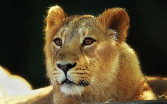 детёныш, кот, lion