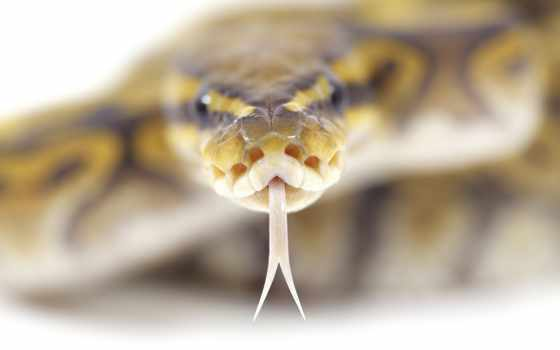 snake, голова, глаза