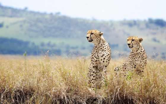 hintergrundbild, gepard, gras, tiere, desktop, гепарды, cheetahs, große,