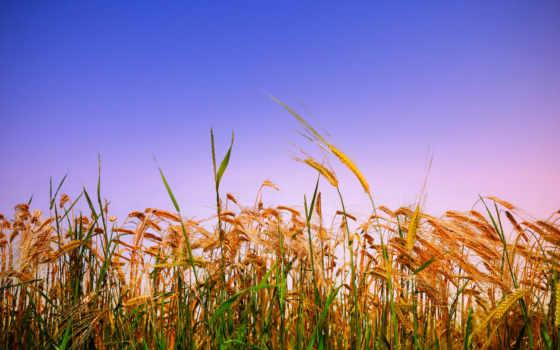 rye, колосья, поле, злаки, небо, золотистые, пшеница, summer, сельское,