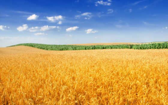 поле, пшеница, золотистый