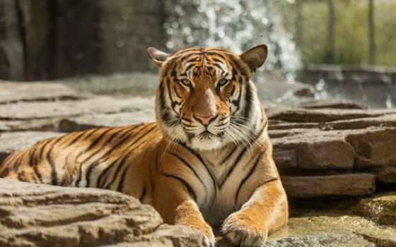 тигр, хищник, отдых, дикая, морда, кот, природа, full, большие,