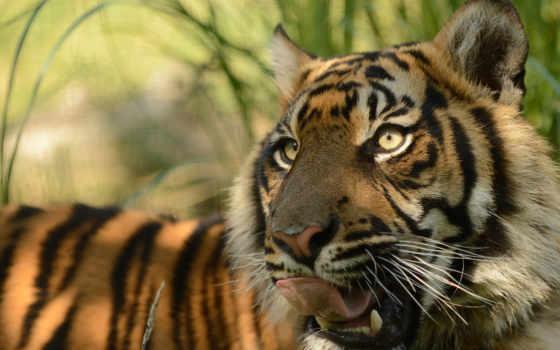обои, тигр, животные, хищник, суматранский, морда,