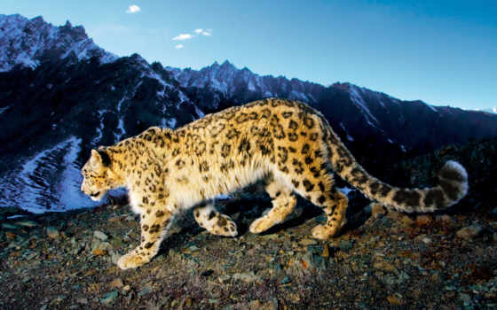 леопард, снег