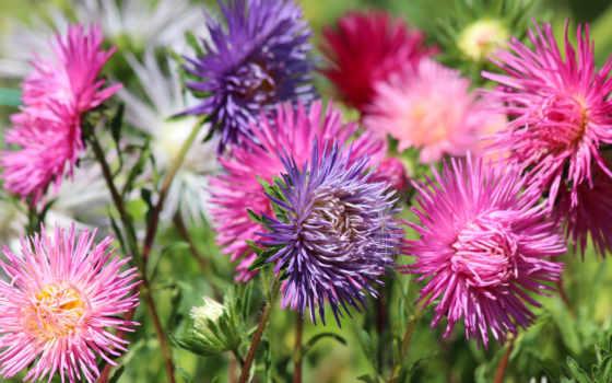 астры, осень, цветы, разноцветные, colorful, fondos, őszirózsa, garden,