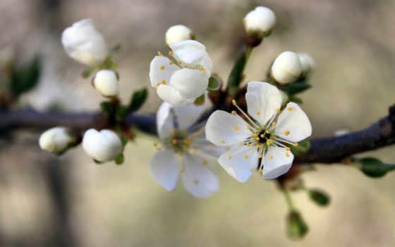 cherry, branch, весна, разных, вишни, цветущей,