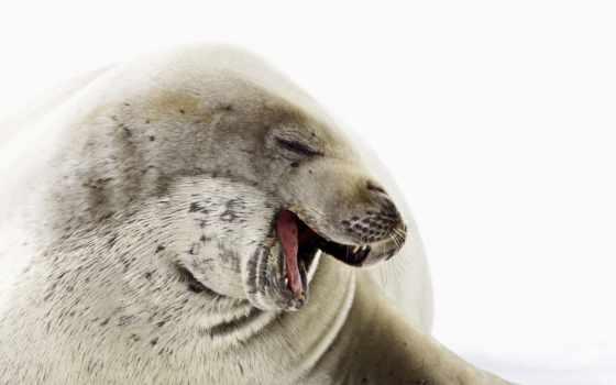 найти, тюлень, череп