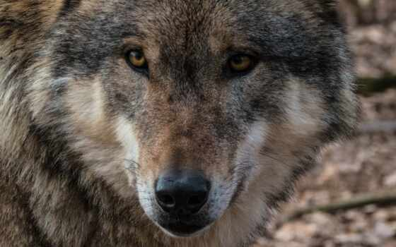 волк, lobo, write