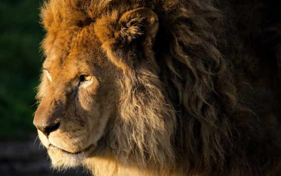 lion, грива, морда