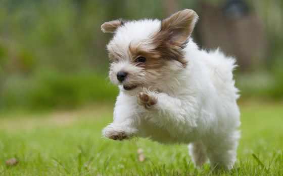 щенок, nice, щенка, собаки, щеня, породы, щенки, собака, за, mile,