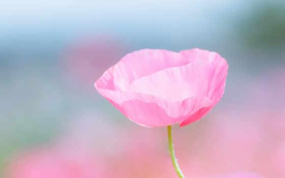 цветы, макро, поле, розовый, poppy, лепестки, размытость,