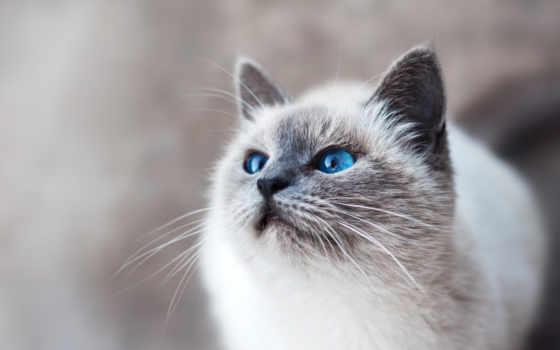 кот, demokot, фото, yeu, bleus, blanc, au