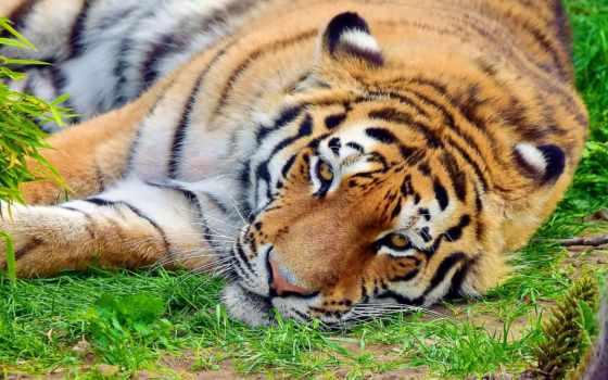 тигр, морда, усы, лежит, полоски, отдых, картинка,