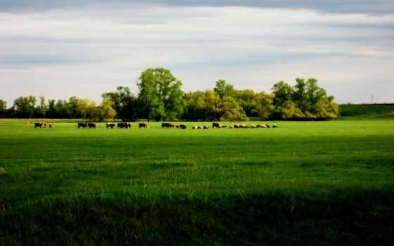 коровы, коров, поле