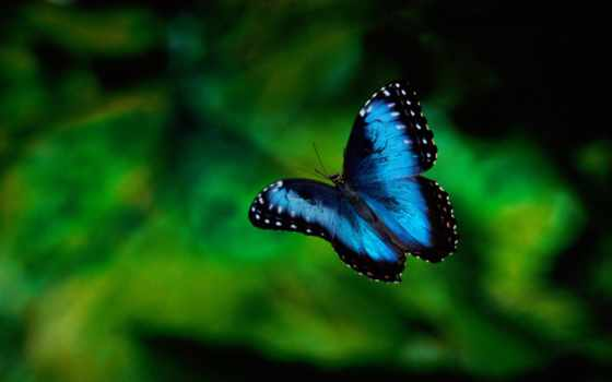 бабочка, синяя, альбома,
