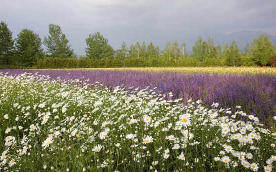 поле, цветы, ромашки