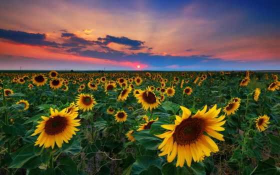 подсолнухи, поле, закат, summer, небо, сша,