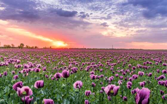 цветы, закат, poppy, purple, облако, planet, naturaleza, заставка, modular, картинка, красивый